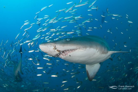Upclose encounter of  sand tiger shark (Carcharias taurus) surrounded by round scad (Decapterus punctatus).