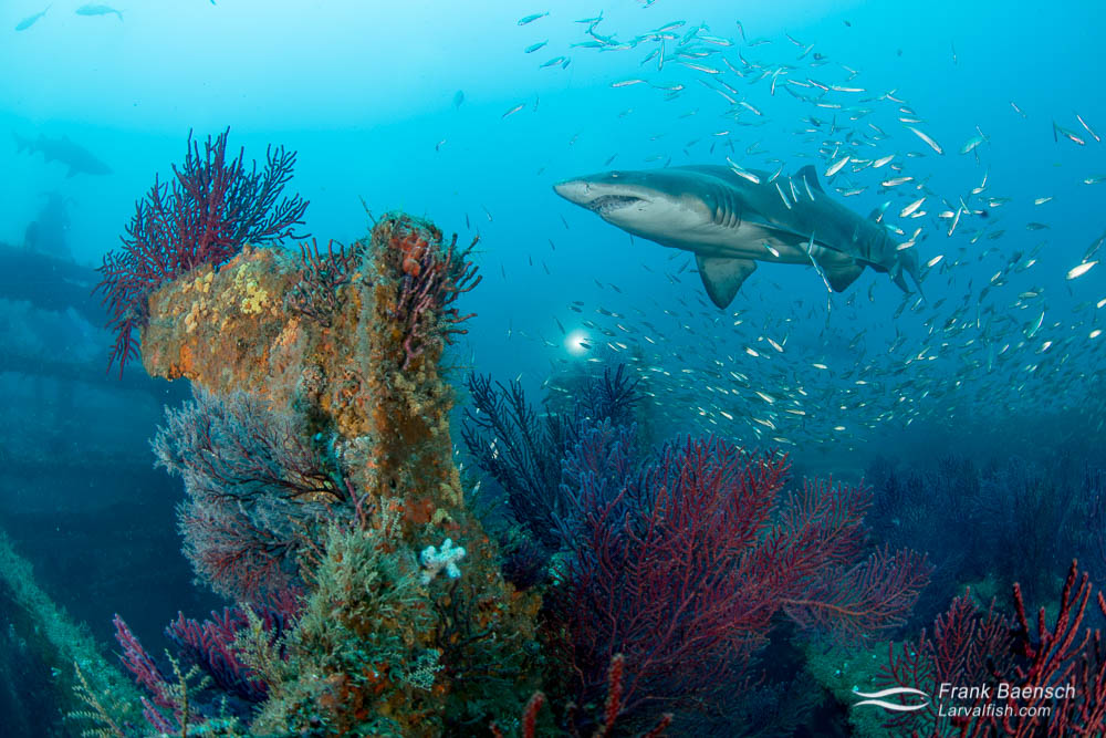 A sand tiger shark (Carcharias taurus) surrounded by round scad (Decapterus punctatus) above a wreck covered in soft coral. North Carolina is a dream dive destination.