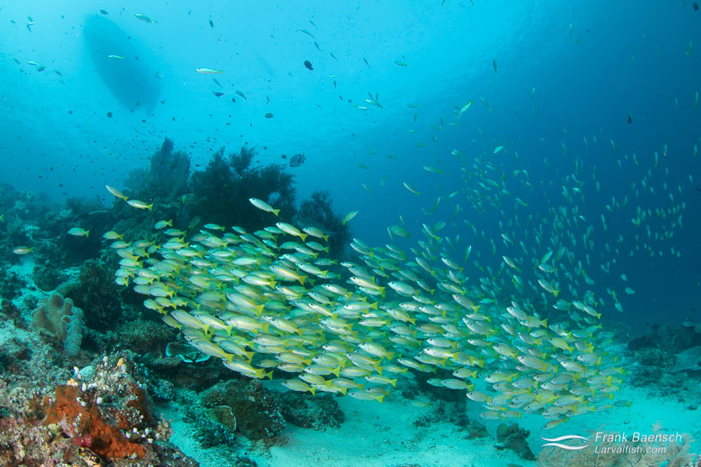 Bluestripe and goldline snappers schooling below boat. Indonesia.