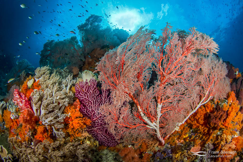 Wild soft coral reef scene. Indonesia.