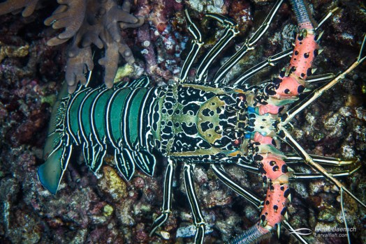 Bird's eye view of painted spiny lobster (Panulirus vesicolor).