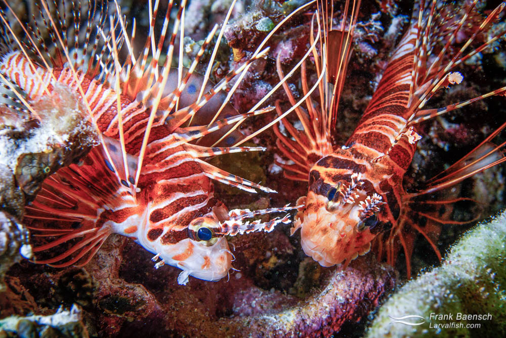 Spotfin lionfish (Pterois antennata) pair. Palau.