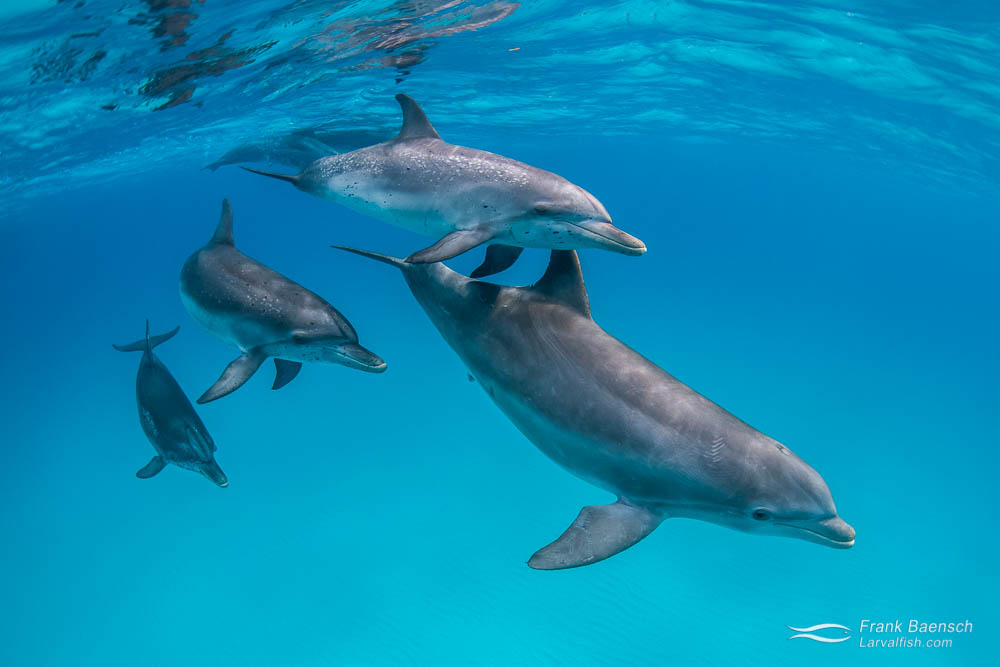Two peas in a pod. Bottlenose and Atlantic spotted dolphins spend lots of time together in the Bahamas. They play and forage together, babysit each others calves and even hybridize on rare occasions. Bahamas.