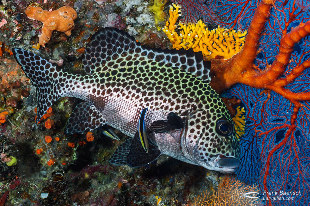 A spotted sweetlip (P.chaetodonoides)  under a gorgonian. Solomon Islands.