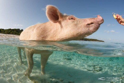 A pig wading in the ocean about to devour some apple.