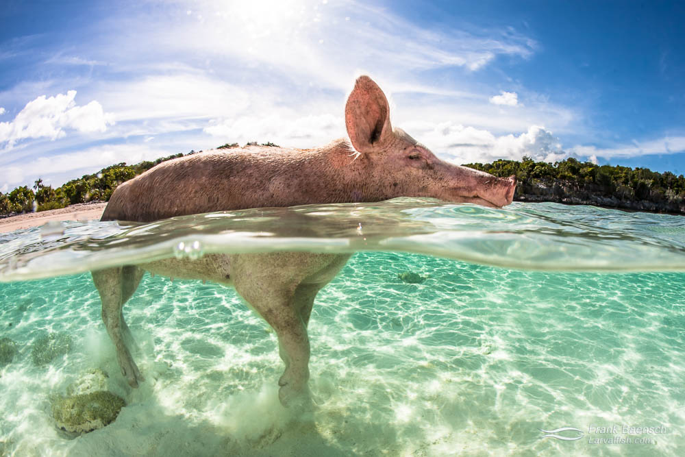 A pig wades out from the beach in the Bahamas.