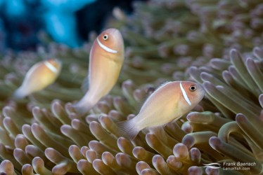 Three clownfish (A. perideraion) line up  in their anemone home.