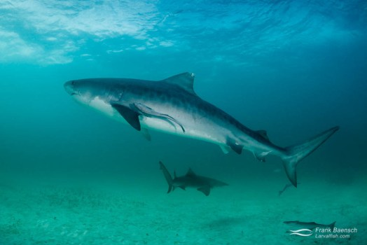A large tiger shark (Galeocerdo cuvier) on a stormy day.