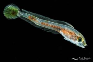 Cultured tilefish (Malacanthidae) larva; 49 dph - 18.3 mm. Hawaii.