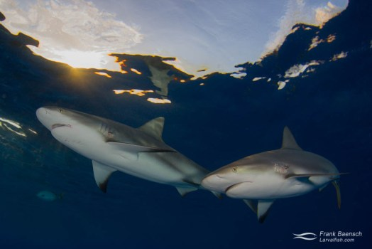 Two grey reef sharks (C. amblyrhynchos) on the surface at twilight.