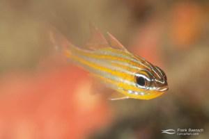 Wassinki cardinalfish (Apogon wassinki). Solomon Islands.