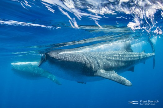 Two whale sharks (Rhincodon typus) feeding on tuna eggs at the surface.