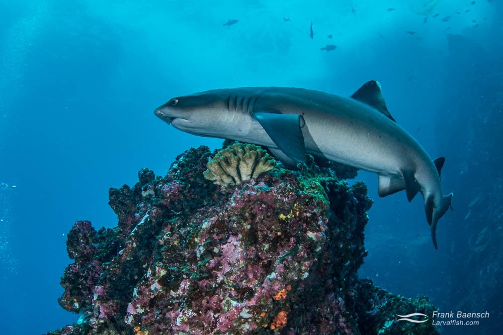Whitetip reef shark (Triaenodon obesus) circles a pinnacle at Cocosl Island.