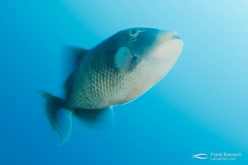 Motion blur of Yellowmargin triggerfish (Pseudobalistes flavimarginatus).