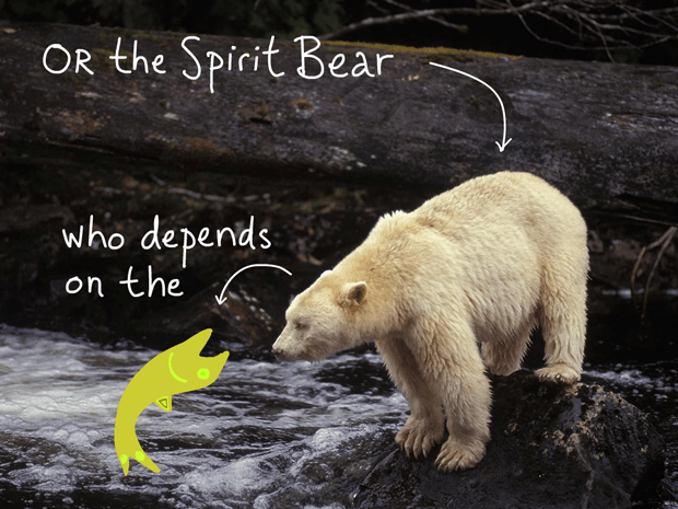 Or the Spirit Bear who is dependent on the salmon; type and fish illustration by Franke James, photo of Spirit Bear by Ian McAllister, Pacific Wild