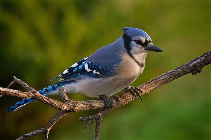 all about blue jays