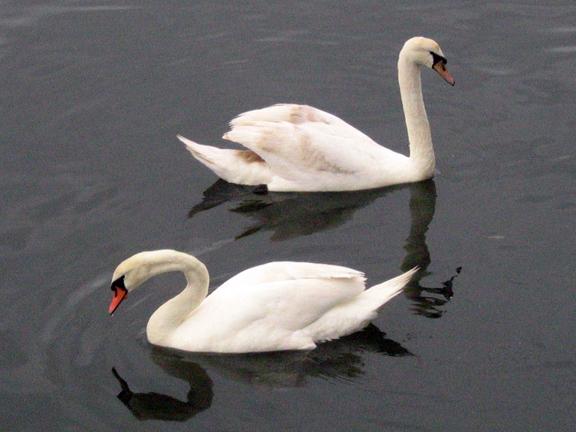 Swans - Sheepshead Bay