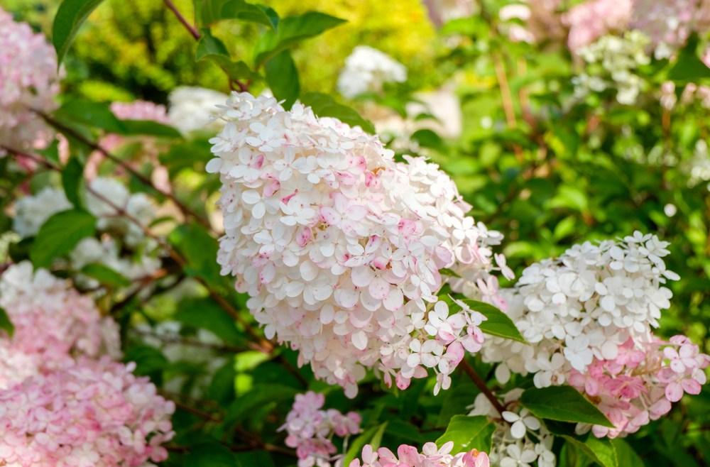 Hortensien - Rispenhortensie - Franks kleiner Garten