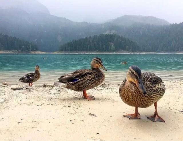 Ducks at Durmitor Park