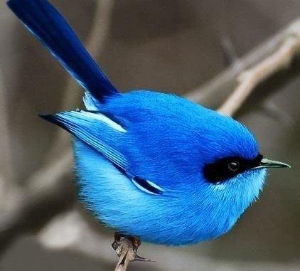 Australian Blue Fairy Wren