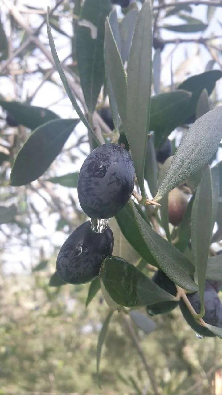 olio di olivo