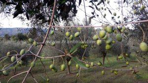 Olivicoltura difesa olivo tecniche di impianto e