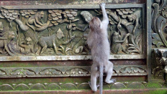 Ein kletternder Makake im Monkey Forest