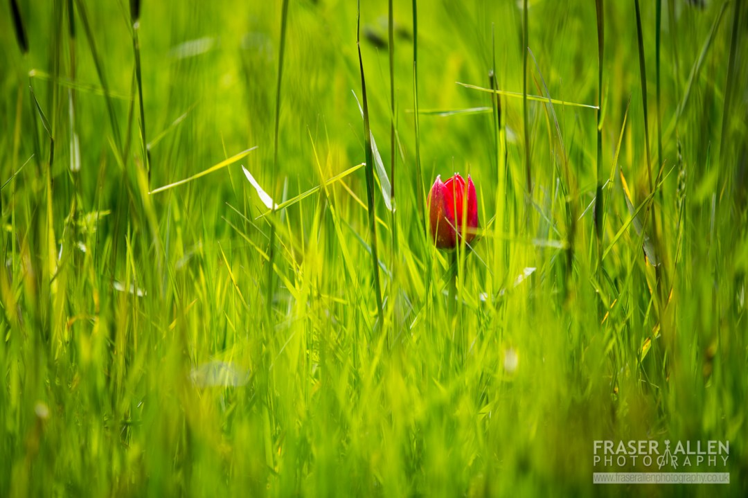 tulip in long grass