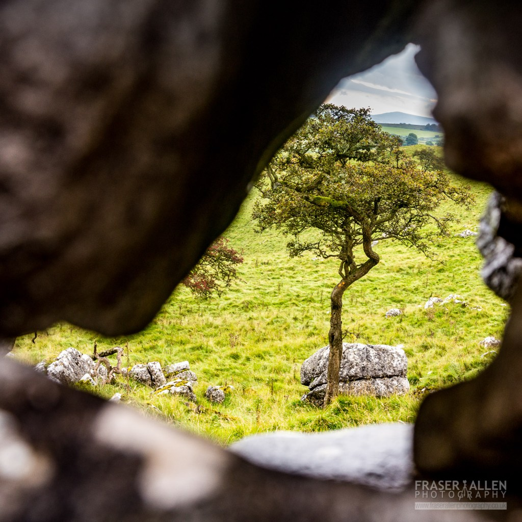 Yorkshire Dales tree through a stone wall
