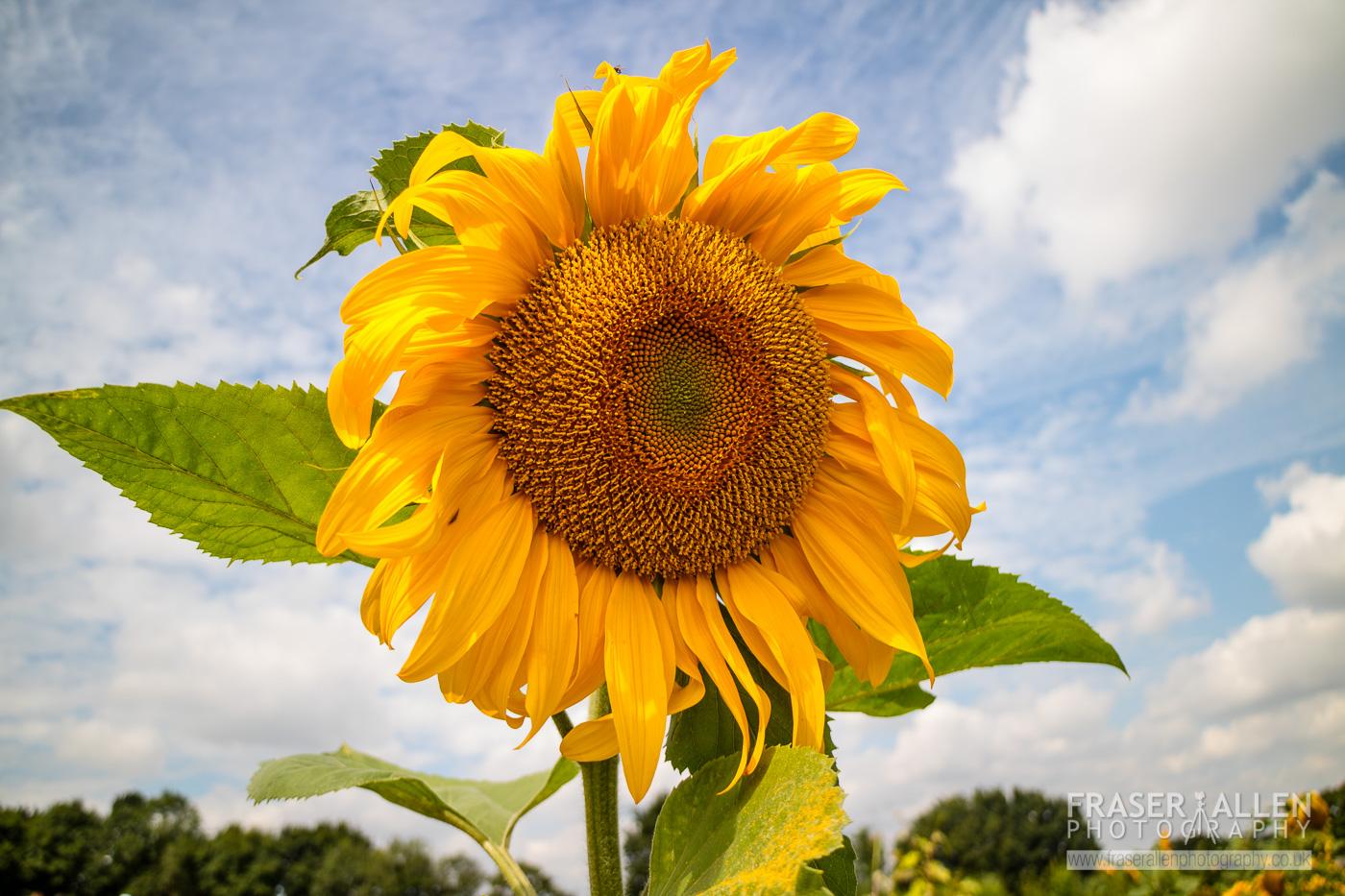 Sissinghurst sunflower