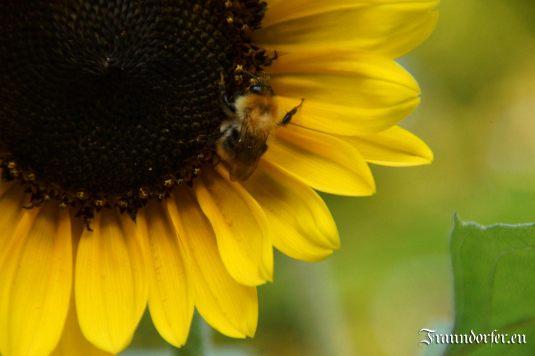 Flashback 2012 - Sonnenblume mit Biene