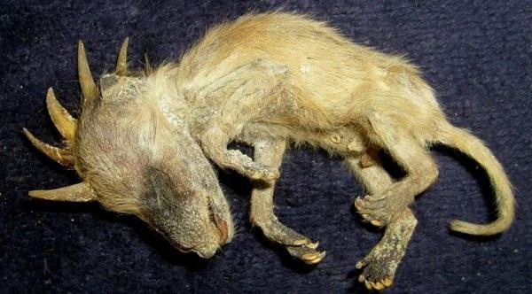 chupacabra-dead