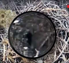 eagle-cam-capture-bigfoot