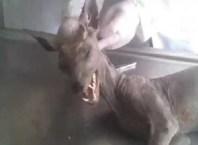 Chupacabra killed in Ukraine