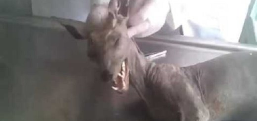 Chupacabra slain by farmer in the Ukraine