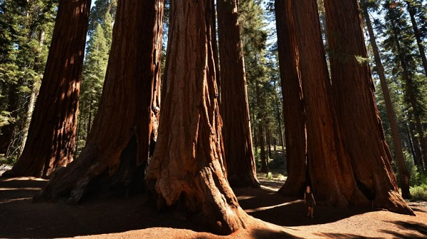 Sequoia National Forest trees