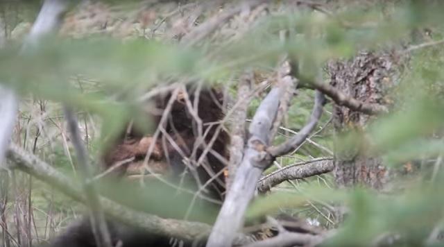 Bigfoot captured on video 8 feet tall