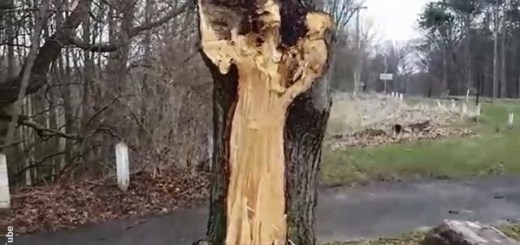 Tree damaged by storm resembles the White Lady ghost