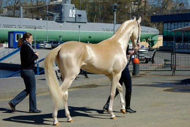 Akhal-Teke horse in Turkmenistan