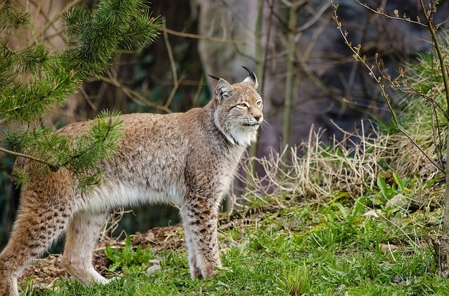 Bobcat in the the wilderness