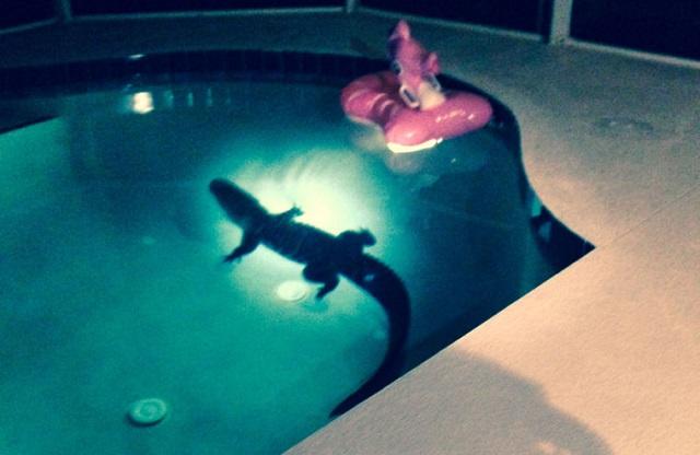 Alligator in Florida couples backyard swimming pool