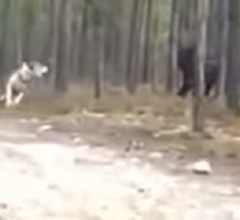 Black Timber Wolf chases mans dog forest