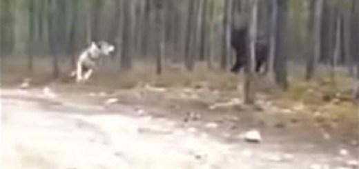 Wolf-Like Creature Fights Man's Dog