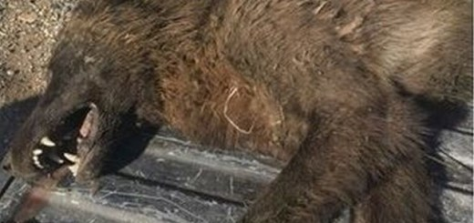 Weird Wolf-Like Creature Killed in Montana