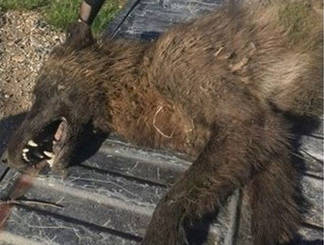 Strange Wolf-Life Creature Shot and Killed