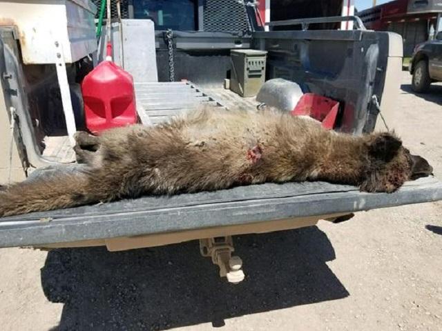 Strange Wolf-Life Creature Shot in Montana