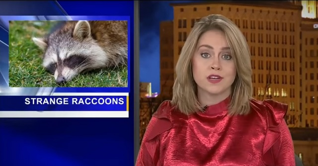 Strange raccoons in Ohio