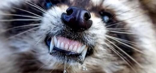Zombie Raccoons Terrorize Ohio Town