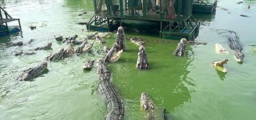 Frightening Crocodile Tour Comes To An End