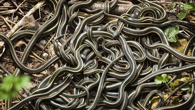 Garter snake infestation Idaho home